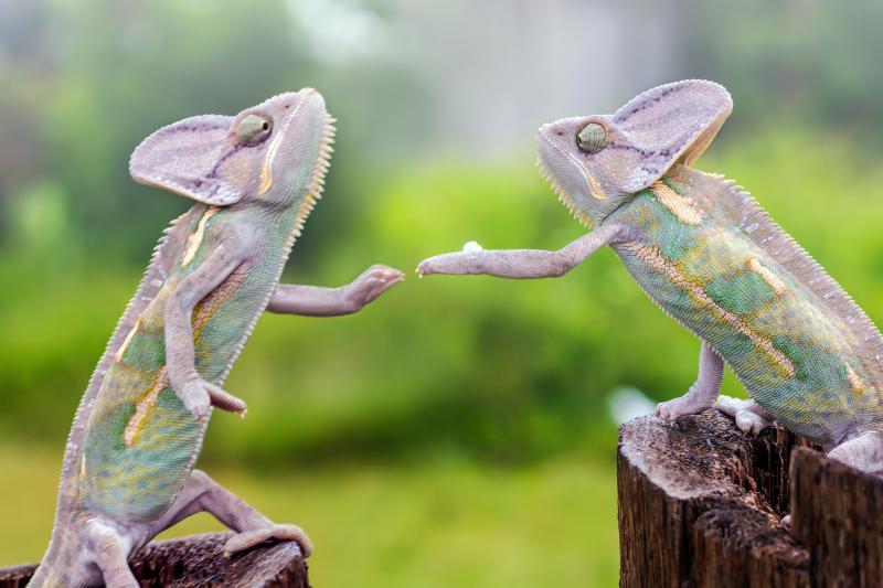 SUSE two chameleons